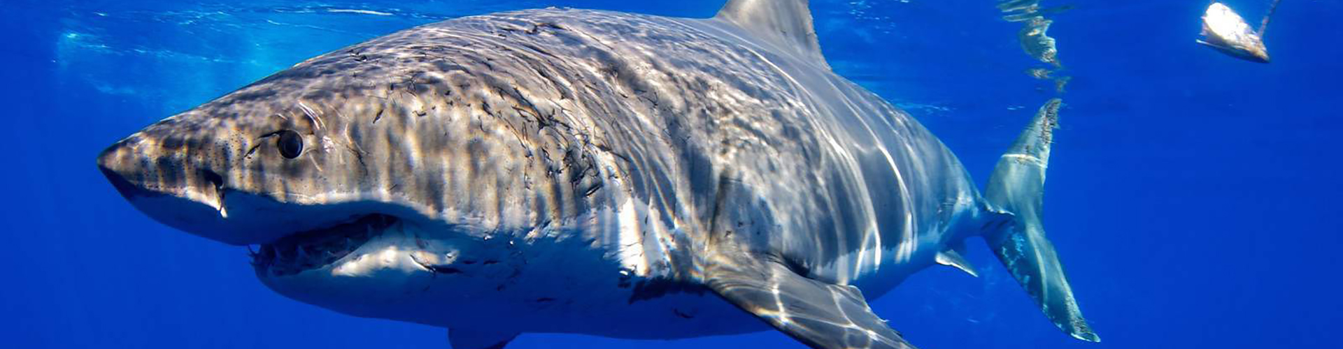 Join us in Guadalupe for a Great White Shark Adventure! August 1 – 5, 2020